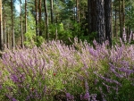 Heather in Forest