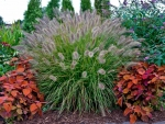Ornamental Grass Autumn