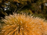 Dwarf Fountain Ornamental Grass