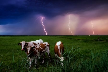 Cows And Lighting Storm - Cows, Brown, Sky, Clouds, White, Lighting, Storm