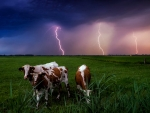 Cows And Lighting Storm