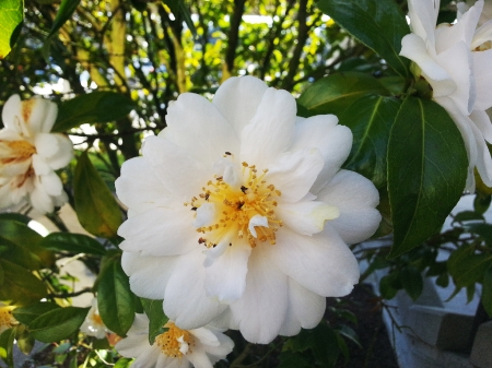 Evergreen Rose - Rosaceae, outdoors, climbing plant, Rosa sempervirens, Evergreen Rose, green, White and Yellow, nature, Flower, pretty, prickly, plant, White, beauty in nature, Photo, Photography, outside, perennial, Rose, beautiful flower, Petal