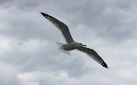 Flying Albatross - cloudy day, sky, clouds, photo, outside, wings, flying bird, Flying Albatross, bird, Albatross, white bird, Photography, nature