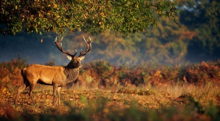 The king of the wilderness - autumn, wild, wildlife, nature, animals, deer, wild animals, fall, forest, wallpaper