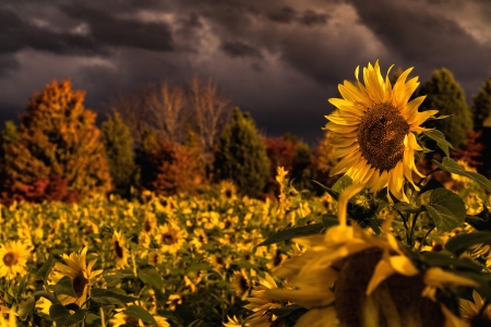Sunflowers Flowers Nature Background Wallpapers On