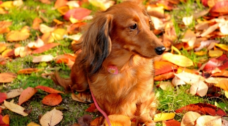 Dachshund in foliage