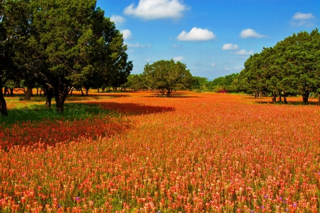 Texas Hill Country Indian Paintbrush - Texas, Fields, Flowers, Nature