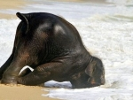 Baby Elephant Playing in the Beach Water