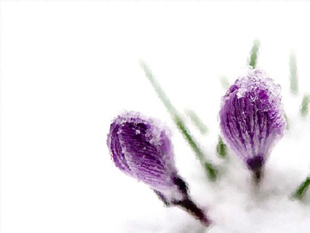 Flowers In The Snow Winter Nature Background Wallpapers