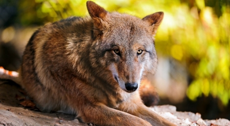 Resting wolf - wilderness, wallpaper, wild, wildlife, wolf, wolves, animals, wild animals