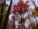 Tall Scarlet Autumn Tree...