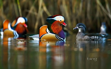 Mandarin Ducks Swimming In The Forest Of Dean Gloucestershire Country England - Gloucestershire, the, Country, Ducks, Swimming, England, Mandarin, In