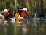 Mandarin Ducks Swimming In The Forest Of Dean Gloucestershire Country England