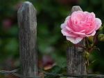 Rose and Fence