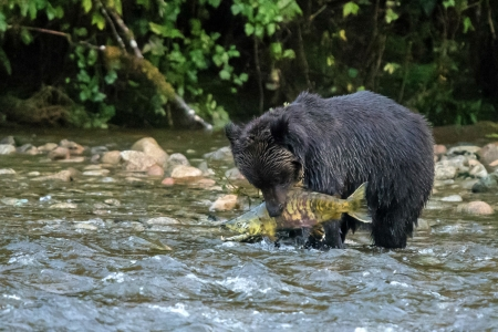Salmon Fishing on the Nekite River - bear, river, nature, salmon