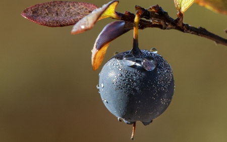 Blueberry - berry, water drop, blueberry, wet, autumn, toamna