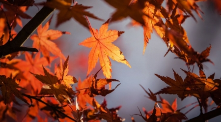 Orange leaves - fall, autumn, leaves, orange, maple, wallpaper, nature, leaf