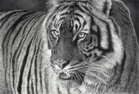 Tiger - giovanni chis, art, bw, black, tigru, tiger, white, animal