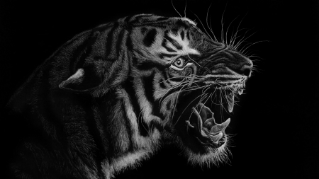 Tiger - giovanni chis, art, bw, black, tigru, tiger, white