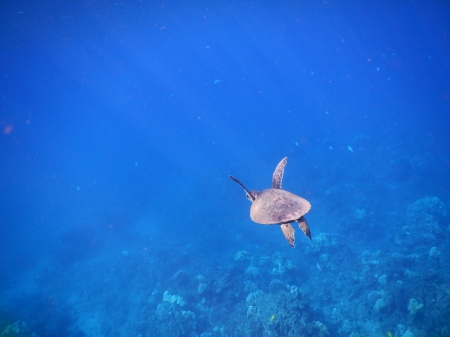 Magical Green Sea Turtle - maui, green sea turtle, hawaii, pacific ocean, natural beauty, swimming
