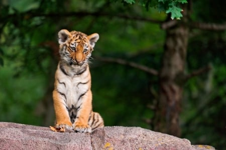 Tiger cub - cute, green, paw, cub, tiger, tigru, baby, animal