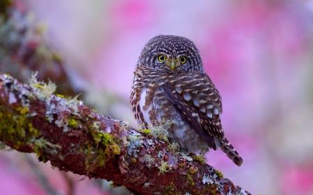 Owl - Birds & Animals Background Wallpapers on Desktop ...