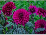 PRETTY DAHLIAS