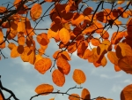 Golden-Brown- Autumn Leaves