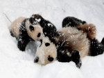Pandas  Playing In The Snow