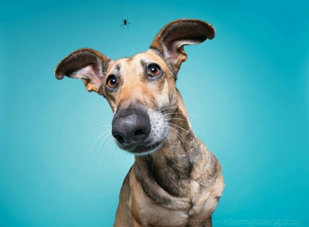 Itsy bitsy - wieselblitz, funny, face, elke vogelsang, animal, blue, dog, halloween, caine, spider