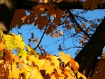 Golden Leaves, Blue Sky