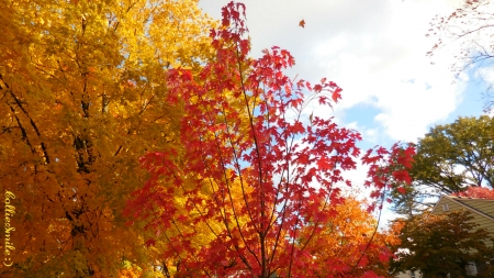 Autumn's Primary Colors V - 1eaves, scarlet, silver maple trees, leaf, leafs, tree, Fa11, crimson red, branches, Autumn, golden yellow