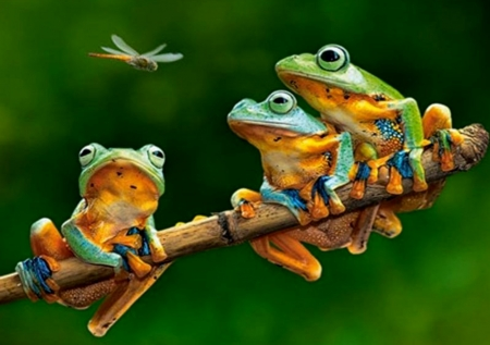 Three Frogs and Dragonflies - Frogs, Green, Dragonflies, Three