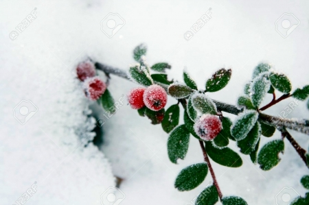 Winter Holly Berries - Winter & Nature