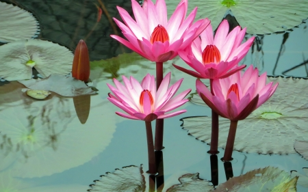 Water lilies - lotus, water, blue, flower, lily, pink