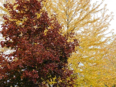 Fall Leaves at Home - Fall, Yellow, Trees, Red, Fall Colors, Yellow Leaves, Autumn, Fall Foliage, Red Leaves
