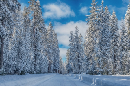Winter Pine Trees - Trees, Pines, Winter, Nature, Snow