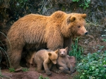 Cantabrian Brown Bear with her Cubs