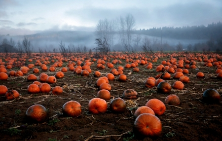 Field Of Pumpkins - Sky, Orange, Pumpkins, Grass, Clouds