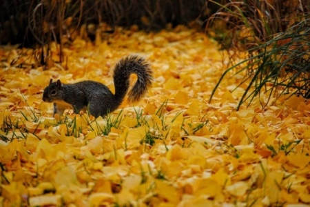 squirrel in a fall leaves - fall leaves, photography, squirrel, animals