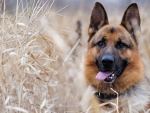 German sheperd