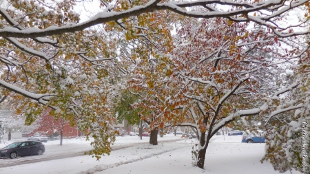 2nd Snowfall of Autumn 2019: Double Deja Vu - green, snow, Autumn, snowy, white, leaves, Trees, gold, Fa11, co1d