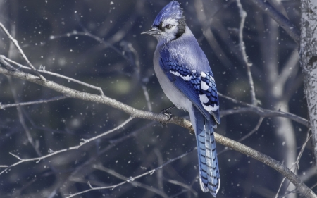 Blue Jay in Winter's Beauty