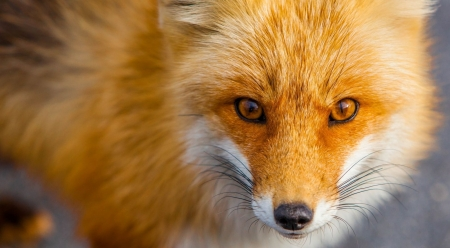 Red fox close-up - fox, wild, wildlife, red fox, animals, wild animals, wilderness, cute, wallpaper, close-up