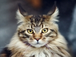 Main coon portrait