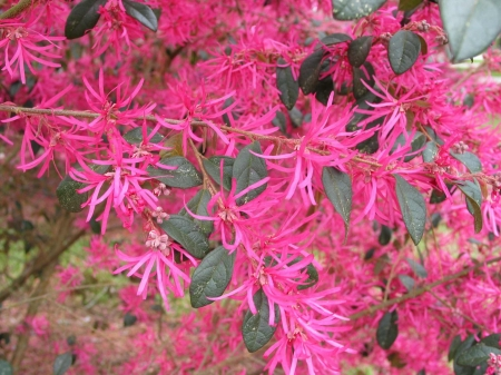 Pink flowering witch hazel