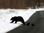 Black Bear Mom and Babies
