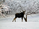 Baby Moose In Snow
