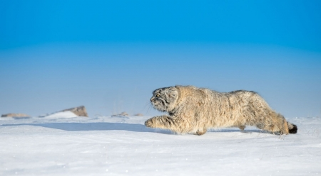 Manul hunting - wilderness, wild, wildlife, manul, cats, big cats, animals, wild animals, wallpaper