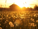 Golden sunset over a warm farm field, with dandelions in the foreground